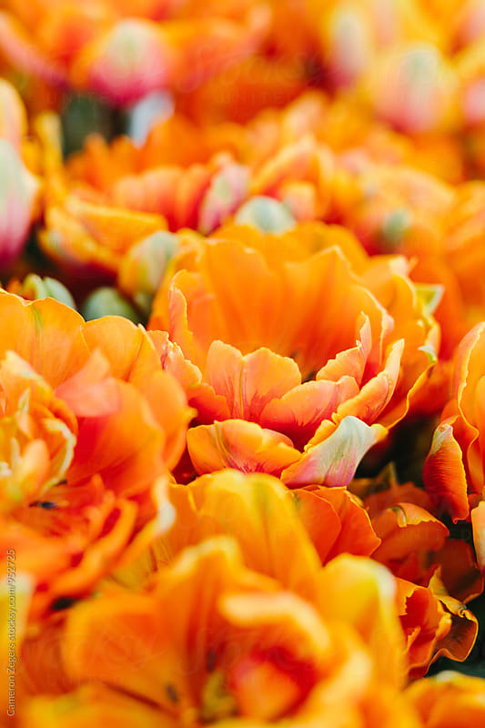 close-up of orange tulips by Cameron Zegers for Stocksy United