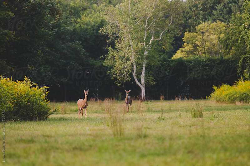 Deer standing in a field by Lauren Naefe for Stocksy United