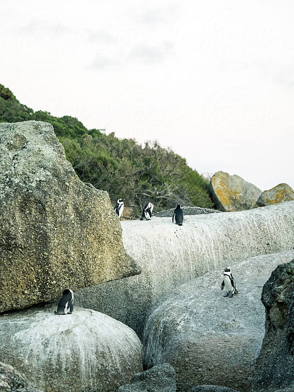 African Penguins on Boulders Beach In Capetown South Africa by DV8OR for Stocksy United