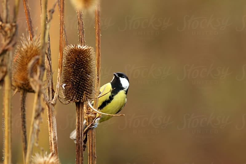 Great tit on a wild teasel plant by Marcel for Stocksy United