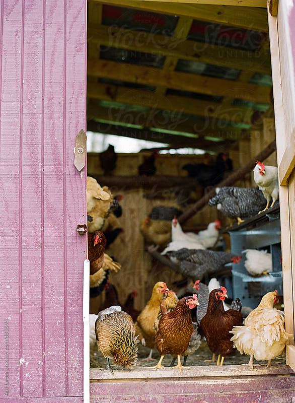 Chickens, roosters and hens in chicken coop by Ali Harper for Stocksy United