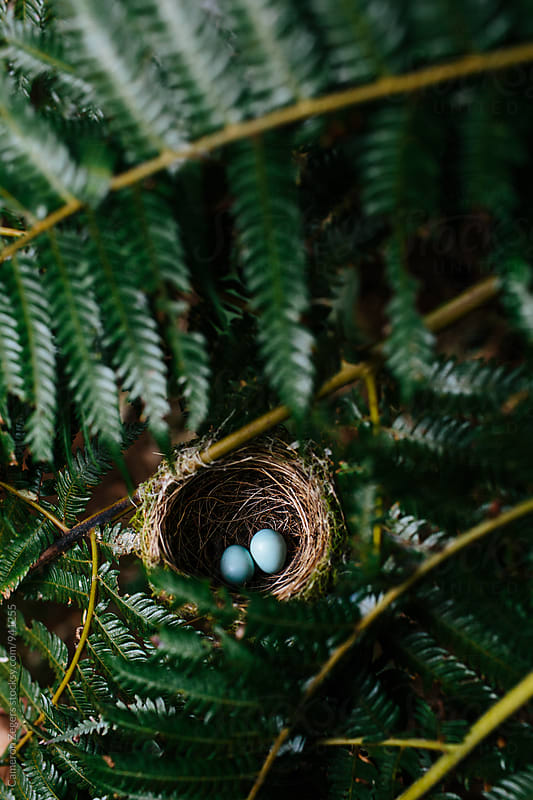 Fantail bird's nest with two blue eggs in New Zealand. by Cameron Zegers for Stocksy United