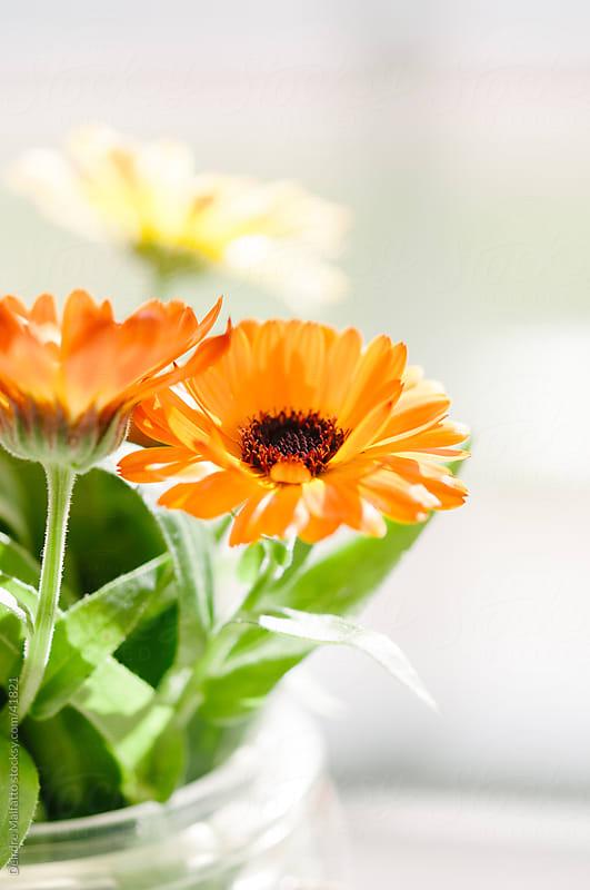 Orange calendula flowers in a glass jar by Deirdre Malfatto for Stocksy United