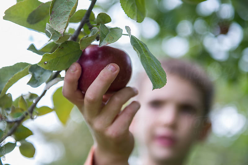 Child reaches out to pick a fresh organic apple from a tree in an orchard by Cara Dolan for Stocksy United