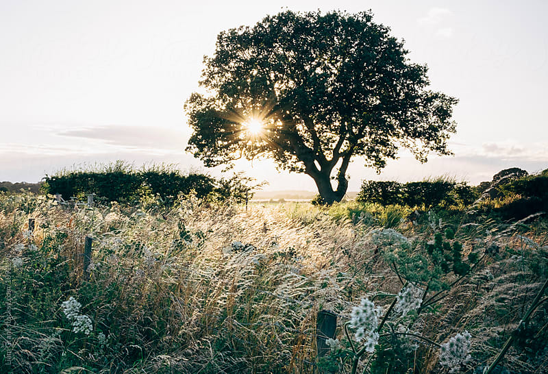 Wildflowers and sun setting behind a tree. Norfolk, UK. by Liam Grant for Stocksy United