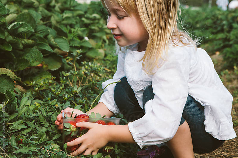 Little girl picking strawberries by Stephen Morris for Stocksy United