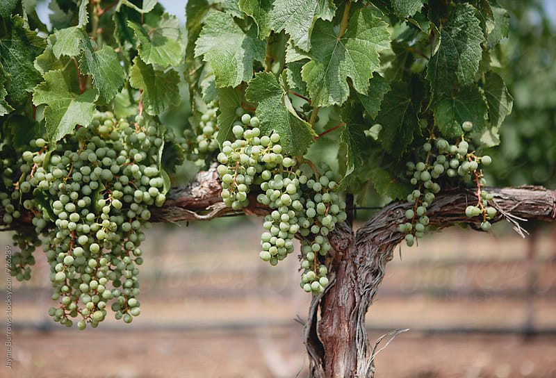 Unripe Cabernet Sauvignon by Jayme Burrows for Stocksy United