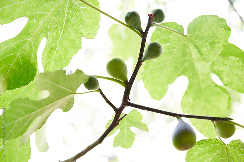 Figs on tree branch by Trinette Reed for Stocksy United