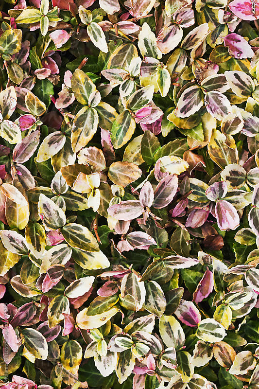 Background from groundcover plants with colorful leaves by Melanie Kintz for Stocksy United