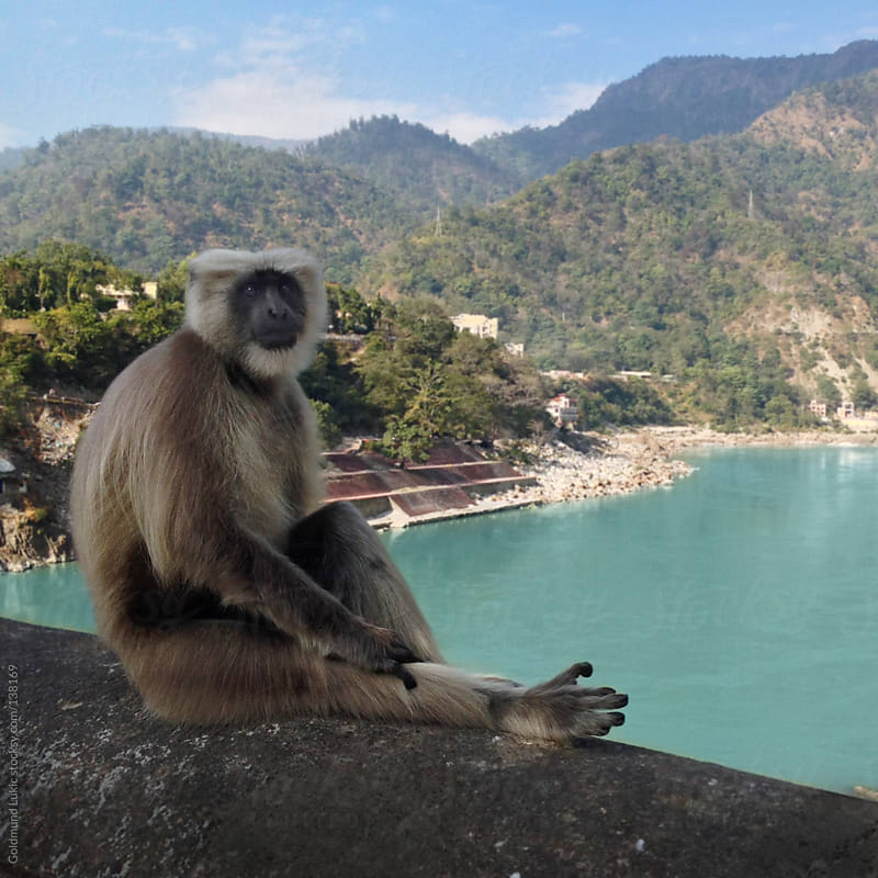Monkey in Northern India by Goldmund Lukic for Stocksy United