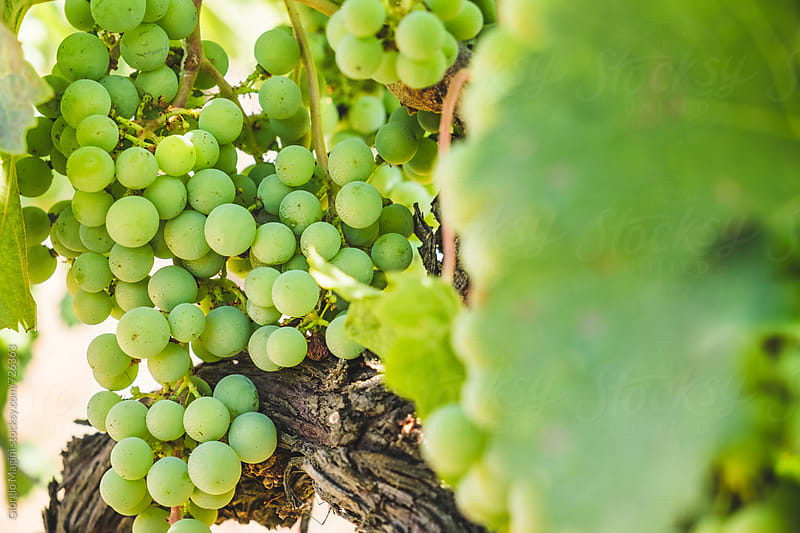 Closeup of White Wine Grapevines in Italy by Giorgio Magini for Stocksy United
