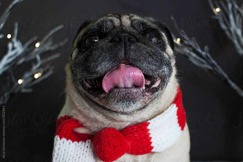 Xmas Pug by skye torossian for Stocksy United