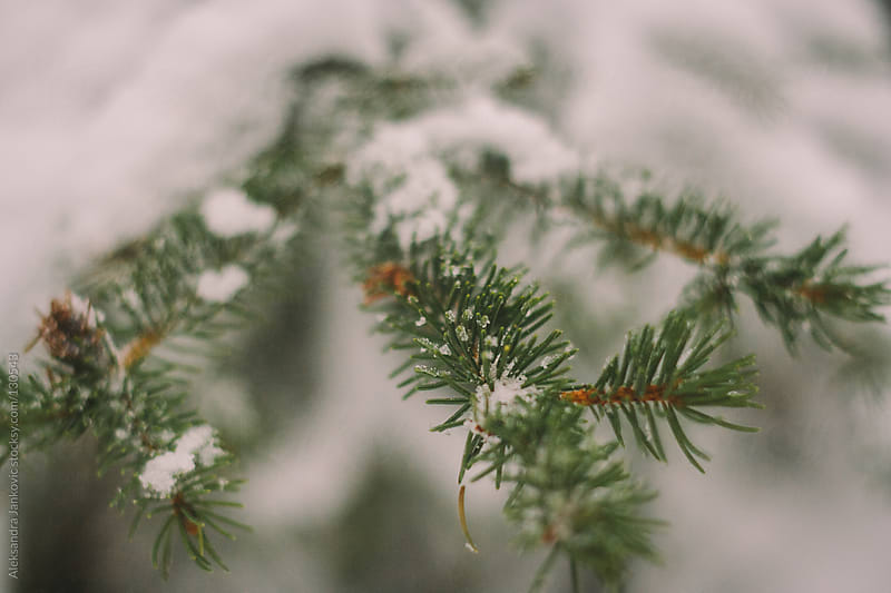 A pine tree branch covered with snow by Aleksandra Jankovic for Stocksy United