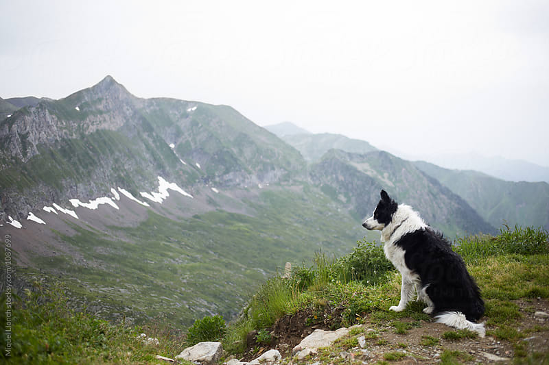 Shepherd dog resting and watching in a mountain valley by Miquel Llonch for Stocksy United