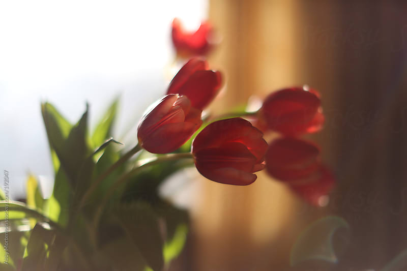Close-up of Red Tulips on Table in Home by Abby Mortenson for Stocksy United