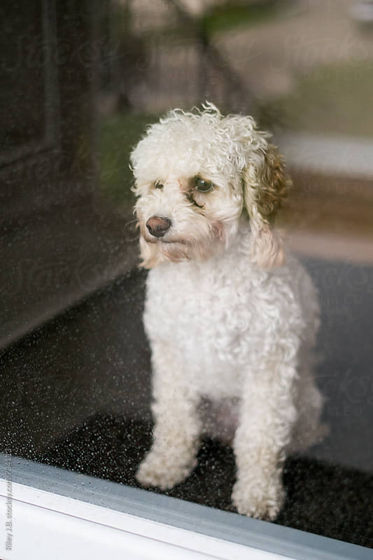 A puppy looks out of a rain covered glass door by Riley J.B. for Stocksy United