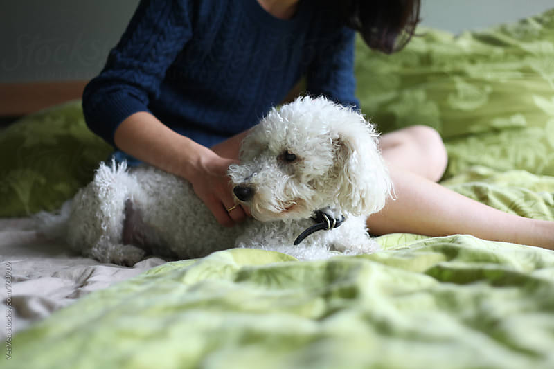 White poodle lying on the bed  by Marija Mandic for Stocksy United