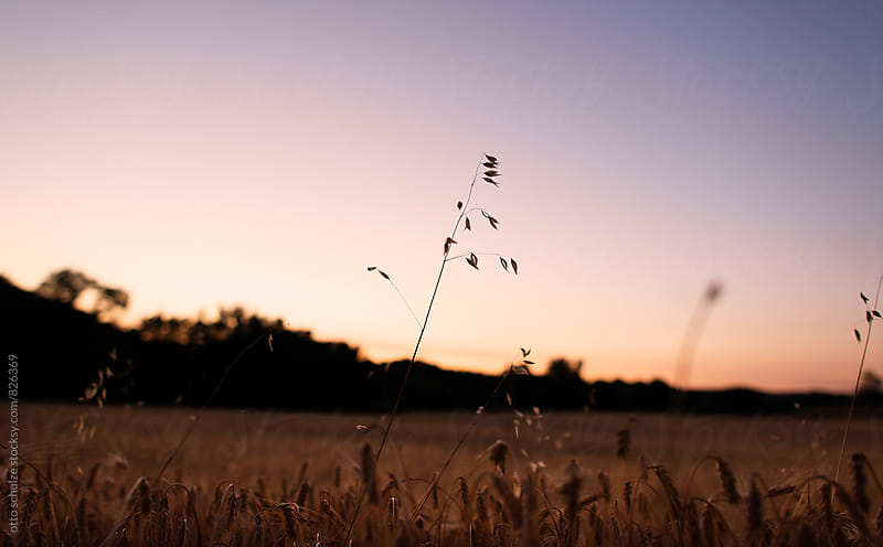 wheat field at sunset by otto schulze for Stocksy United