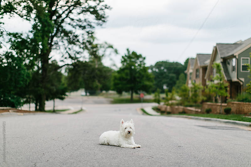 A dog laying in the middle of the street by Jakob for Stocksy United