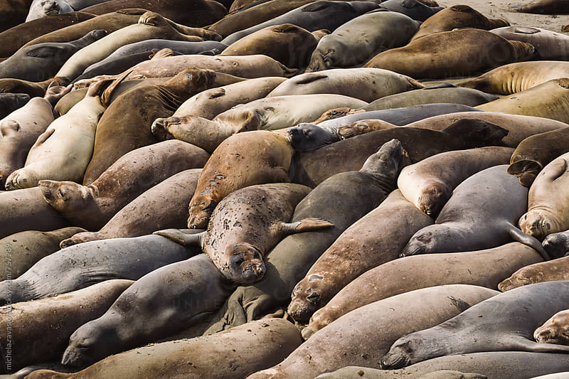 A group of sea lions lying on the beach by michela ravasio for Stocksy United