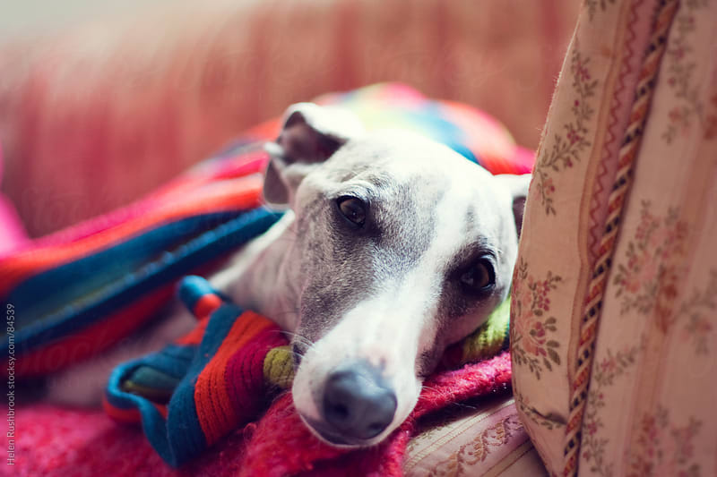 A sad eyed whippet wrapped in a blanket by Helen Rushbrook for Stocksy United