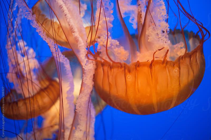 Orange Jellyfish floating in the water by Carolyn Lagattuta for Stocksy United