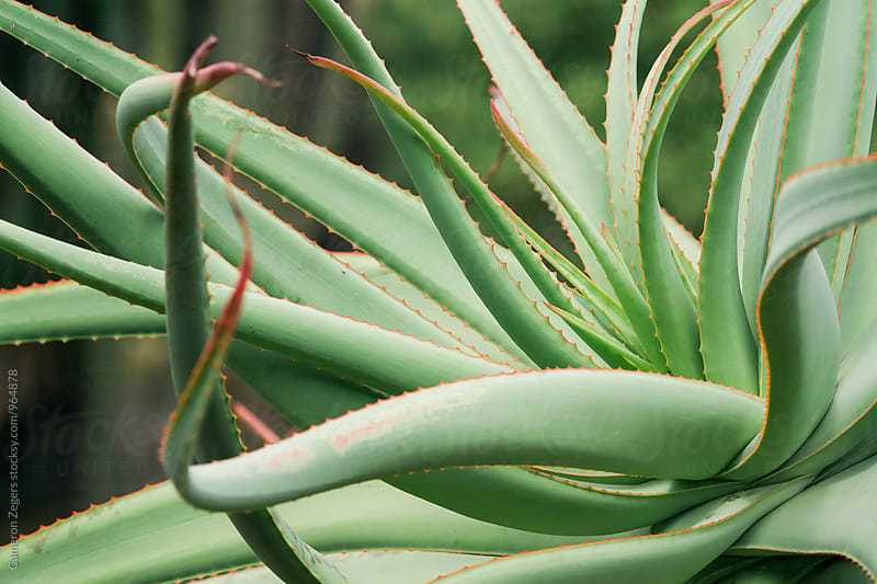 green aloe succulent by Cameron Zegers for Stocksy United