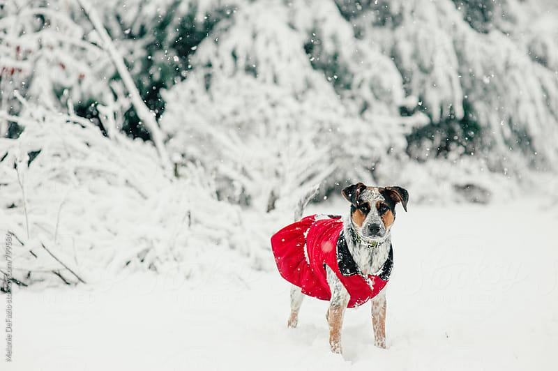 Dog in the snow by Melanie DeFazio for Stocksy United