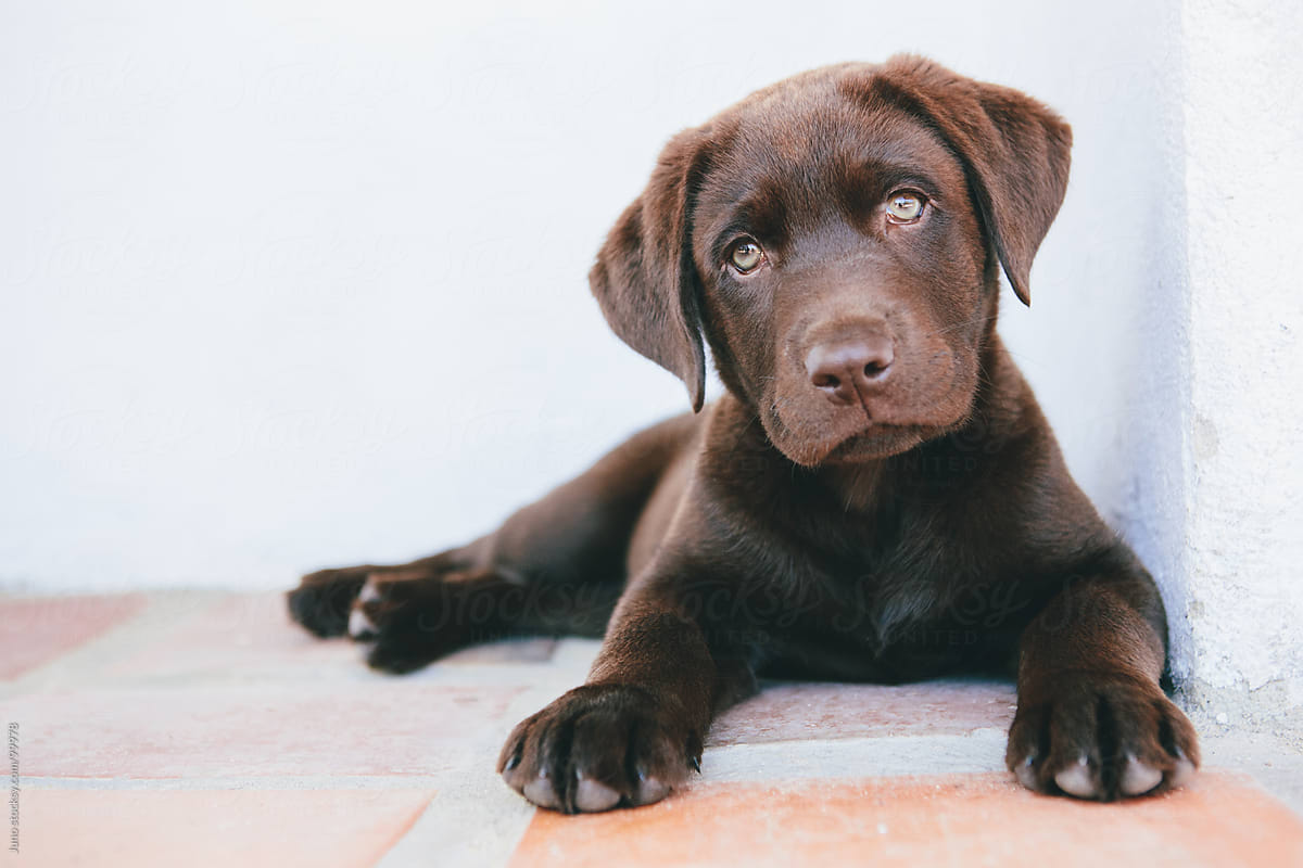 Cute Chocolate Brown Labrador Puppy Por Micky Wiswedel Stocksy United