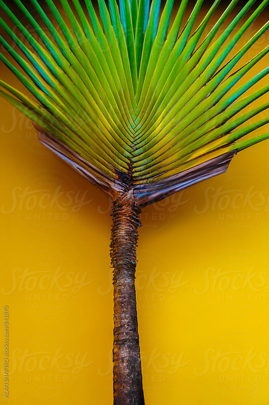 Palm tree and yellow wall by alan shapiro for Stocksy United