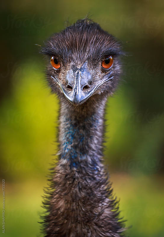 Emu up close by alan shapiro for Stocksy United