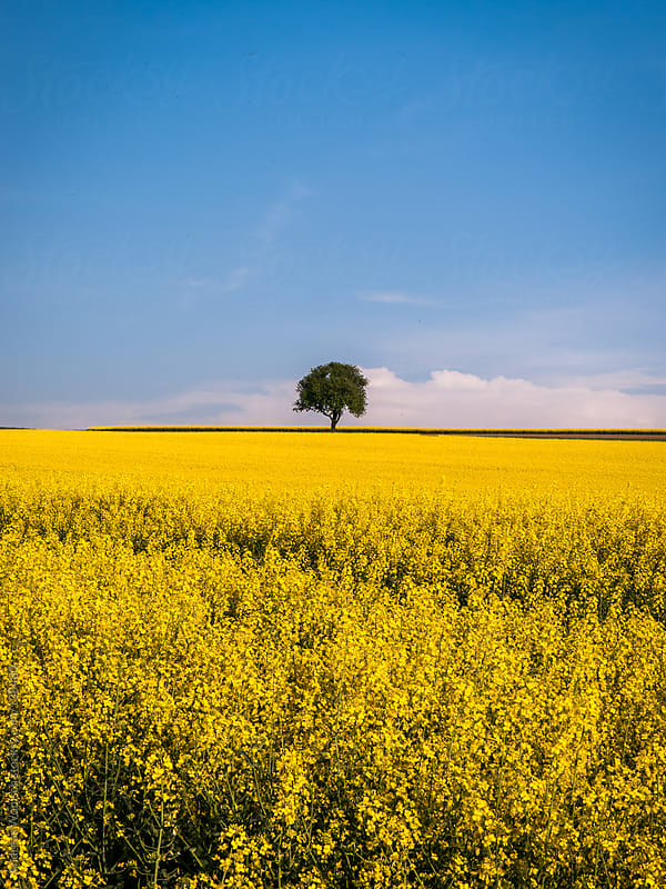 Lonely Tree in Canola Field by Andreas Wonisch for Stocksy United
