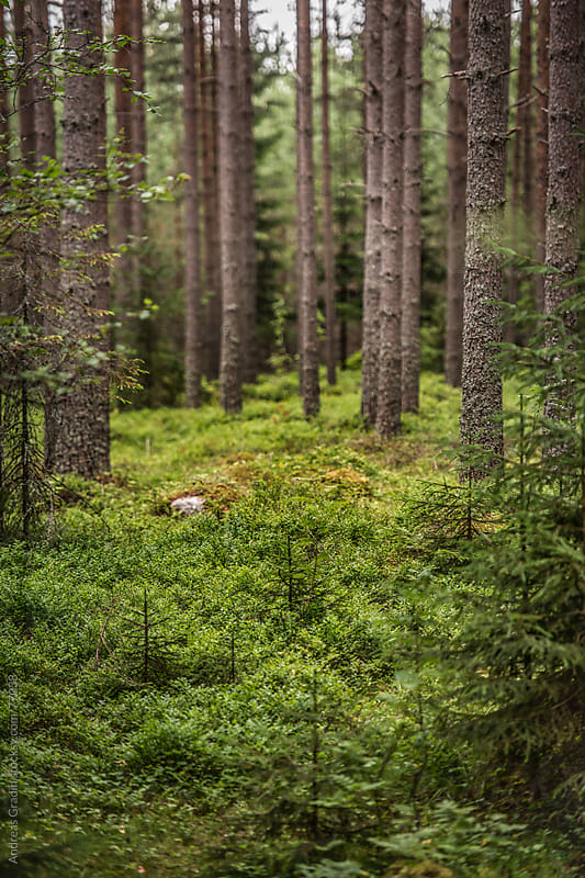 clean green forest by Andreas Gradin for Stocksy United