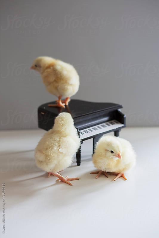 Chicks and piano by Jovana Rikalo for Stocksy United