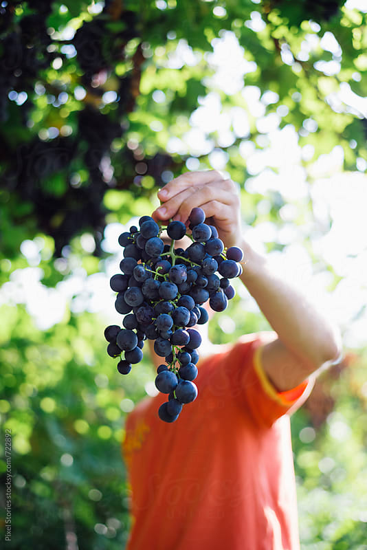 Young man holding just picked cluster of grapes by Pixel Stories for Stocksy United