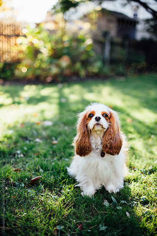 A cavalier king charles spaniel outside in the sunshine. by J Danielle Wehunt for Stocksy United