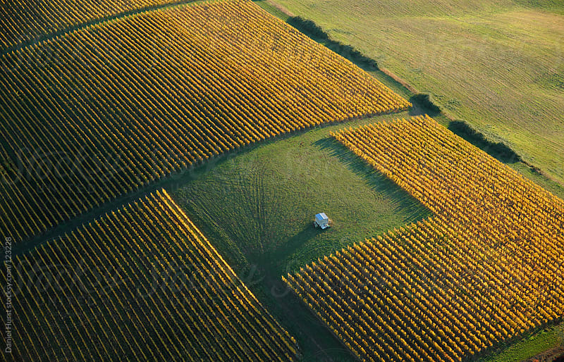 Aerial view of vineyard in fall by Daniel Hurst for Stocksy United
