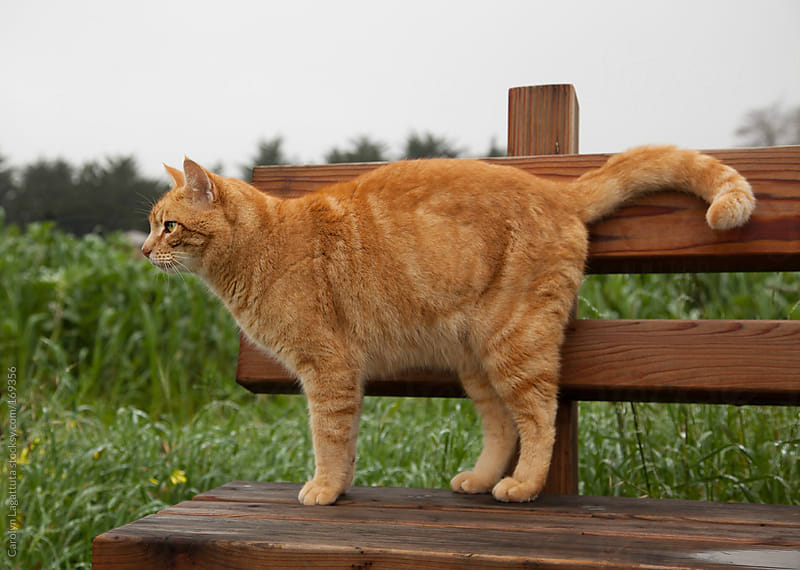 Healthy orange cat who lives on a farm standing on a bench by Carolyn Lagattuta for Stocksy United