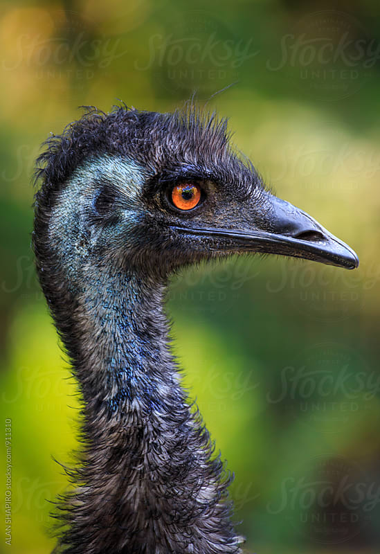 Emu in profile by alan shapiro for Stocksy United