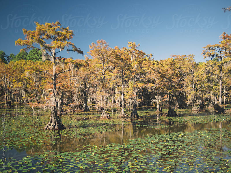 Autumn on the bayou. Cypress trees, spanish moss and lily pads in a swamp. by Jeremy Pawlowski for Stocksy United