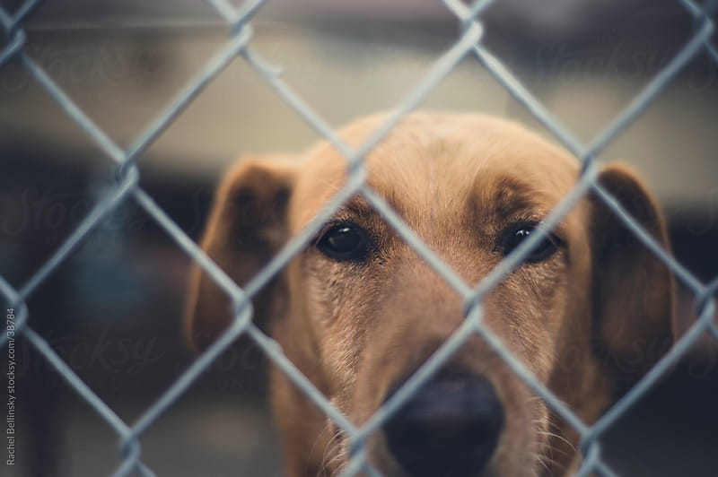 Soulful yellow lab dog behind fence by Rachel Bellinsky for Stocksy United