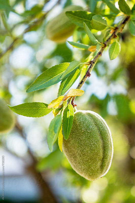 green almond on the tree by ACALU Studio for Stocksy United
