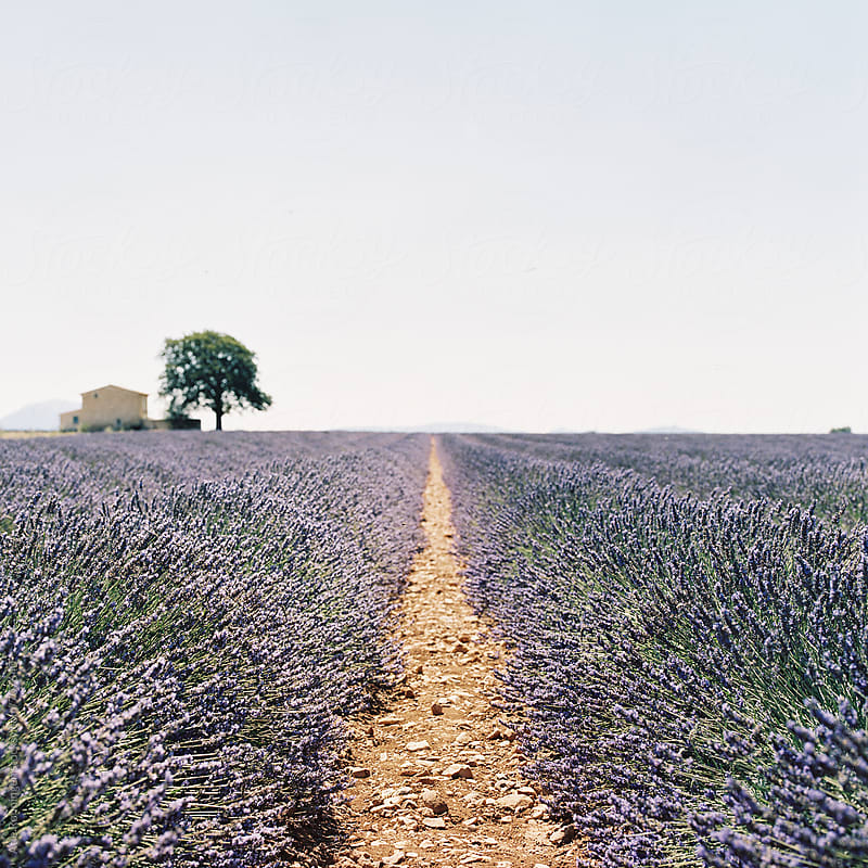 Lavender fields at Plateau De Valensole in Provence, France by Atle Rønningen for Stocksy United