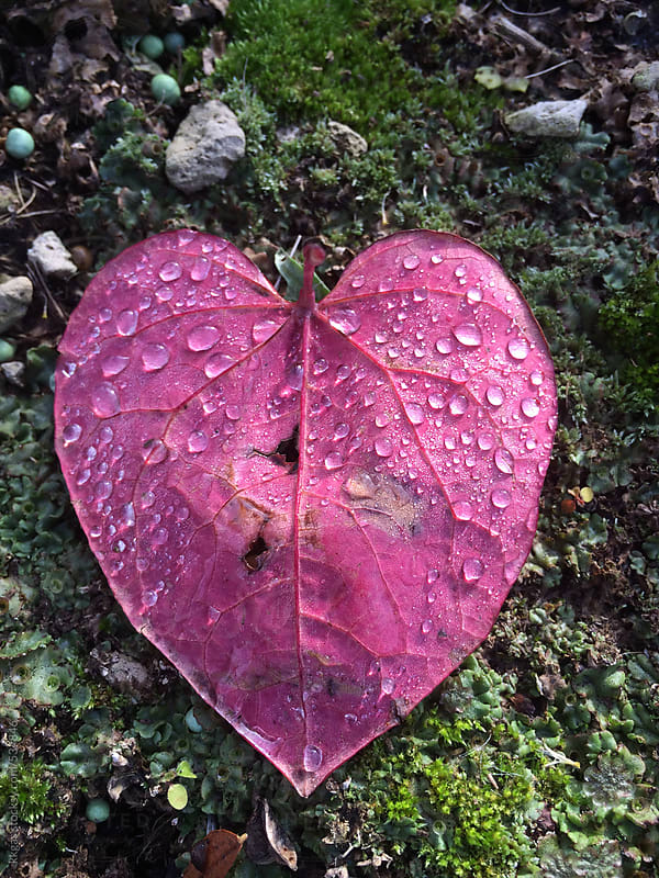 Pink heart shaped leaf with rain droplets by kkgas for Stocksy United