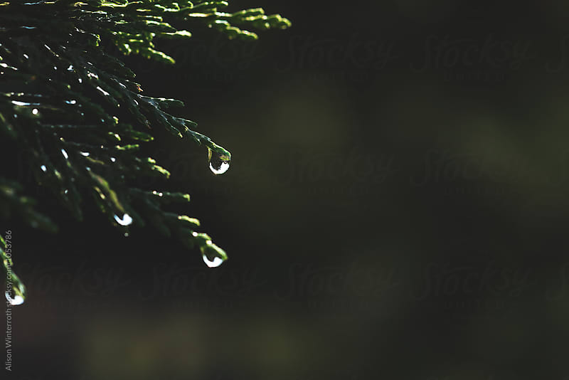 Up Close Image Of Droplets From Tree by Alison Winterroth for Stocksy United
