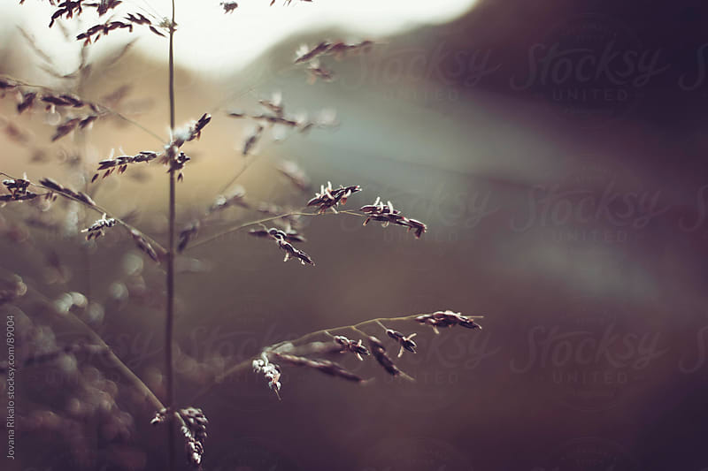 Detail of grass in the sunset by Jovana Rikalo for Stocksy United
