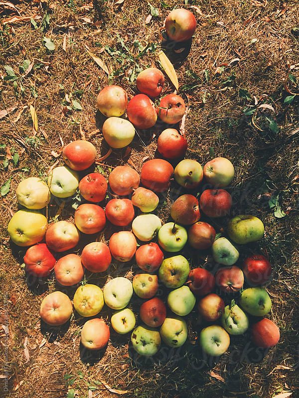 Apples on the dry grass by Dimitrije Tanaskovic for Stocksy United