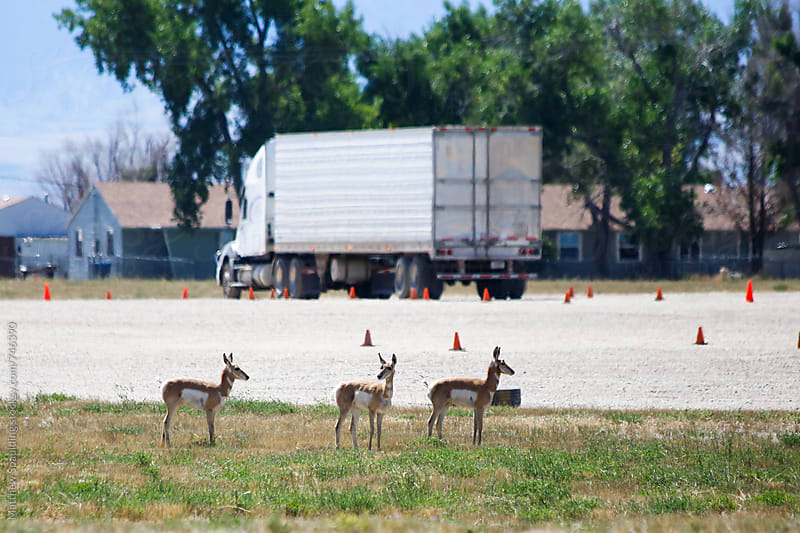 Wild pronghorn antelopes standing beside parking lot by Matthew Spaulding for Stocksy United