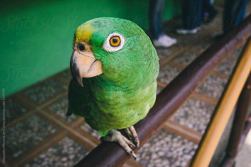 Green parrot closeup by Alejandro Moreno de Carlos for Stocksy United