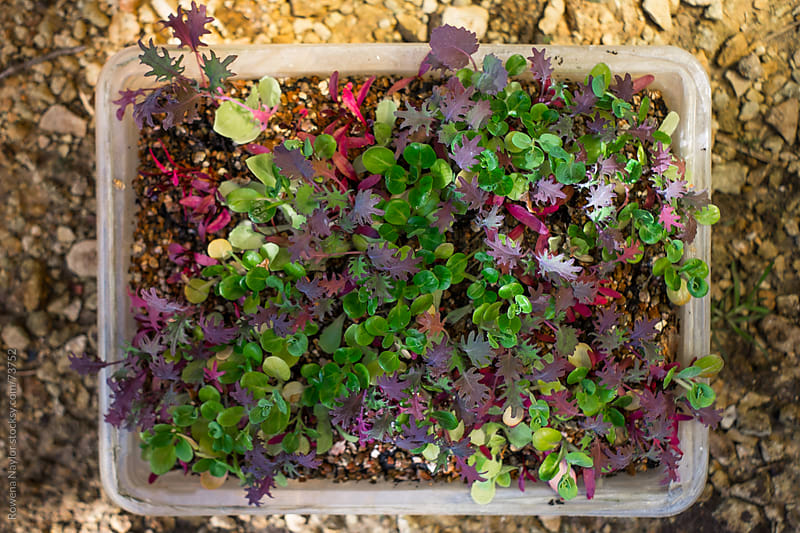 Micro Salad Greens by Rowena Naylor for Stocksy United